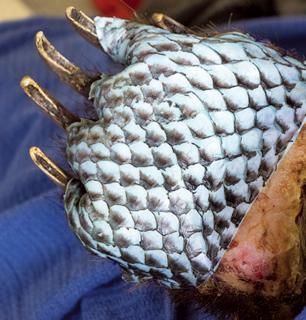 Veterinarians used sterilized tilapia skin to help heal burned bear paws.